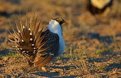 Sharp Dressed Man - Greater Sage Grouse Displaying - 4481b+ (teagden) Tags: wild bird nature sunrise photography nikon display wildlife feathers grouse sage greater endangered avian sagebrush lek displaying naturephotography sagegrouse tailfeathers courtship birdphotography wildlifephotography greatersagegrouse courtshipdisplay avianphotography jenniferhall jenhall grousedisplay jenhallphotography jenhallwildlifephotography