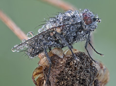Droplets on a fly (didin21) Tags: