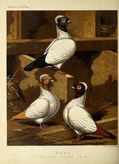 n463_w1150 (BioDivLibrary) Tags: pigeons fieldmuseumofnaturalhistorylibrary bhl:page=49799331 dc:identifier=httpbiodiversitylibraryorgpage49799331