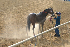 2015-12-13 (71) a cooling spray at Laurel Park (JLeeFleenor) Tags: photos photography md marylandracing marylandhorseracing laurelpark horses thoroughbreds equine equestrian cheval cavalo cavallo cavall caballo pferd paard perd hevonen hest hestur cal kon konj beygir capall ceffyl cuddy yarraman faras alogo soos kuda uma pfeerd koin حصان кон 马 häst άλογο סוס घोड़ा 馬 koń лошадь maryland
