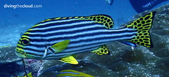 Indian Ocean oriental sweetlips - Labios dulces oriental (divingthecloud) Tags: sea mar agua underwater diving maldives buceo sweetlips maldivas fotosub bajoelagua labiosdulces labiosdulcesoriental