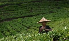 Bengalese traditional tea picker, Srimangol (magbrinik) Tags: travel portraits teagarden bangladesh traditionaldress teaestate traditionalvillage travelphotography rurallandscape womanportrait teapicking teapickers traveladventure ruralportrait bangladeshtravel srimangol