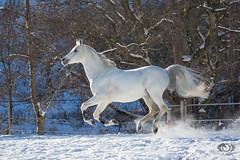 Said_20164632 (OliverSeitz) Tags: said pferd pamir schimmel hengst arabianhorses sadana i vollblutaraber hauptundlandgesttmarbach arabischepferde oliverseitz oliseitzde