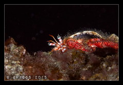 IMG_1268 (Graggs) Tags: crab scuba diving tenerife hermit underwaterphotography radazul