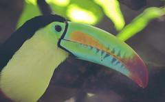 tucan (mamonto_70) Tags: fauna zoo colombia aves medellin cautiverio antioquia suramerica 2016 zoologico nikond90 areametropolitana valledeaburra