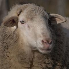 Sale temps sur la planète *----+°-° (Titole) Tags: squareformat mouton sheep titole farmanimal nicolefaton wool friendlychallenges 15challengeswinner challengeyouwinner