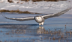 Le summum! (pascaleforest) Tags: winter white bird ice flying nikon hiver passion oiseau glace aile snowyowl voler prdateur harfangsdesneige