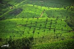 Munnar, Kerela (Yesmk Photography) Tags: travel india green daylight outdoor manmade hillstation kerela munnar teaestate godsowncountry muthukumar yesmkphotography
