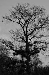 Trees Along Tamiami Trail (ACEZandEIGHTZ) Tags: trees blackandwhite nature moss nikon bromeliads us41 airplants tamiamitrail route41 tillandsias d3200 covedinmoss