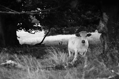 Vercors : Portraits de vaches (la blanche) (Quentin Verwaerde) Tags: wild blackandwhite bw mountain black nature forest montagne walking landscape photography oak solitude photographie noiretblanc hiking wheat nb ombre hidden camouflage shade breeding effort lonely paysage vercors marche fort snout solitaire rverie horned reverie efforts randonne sauvage discretion cach vagrancy museau noirs cornes chne bls vagabondage finkielkraut levage marchepied discrtion alainfinkielkraut verwaerde quentinverwaerde