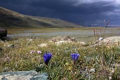 Gentiana decumbens (Pterodactylus69) Tags: blue flower russia siberia blau blte steppe gentian enzian gentiana russland altai sibirien sdsibirien