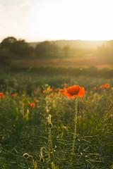 DSC04564 (wheelsy1) Tags: walking derbyshire poppy chesterfield sheepbridge poppyfield unstone richardwiles