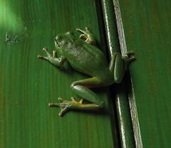 (strayfox50) Tags: animals treefrog