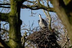 Grey heron nest-building (Steve Balcombe) Tags: uk bird heron grey nest somerset ardea twigs rspb cinerea swellwood twigfest