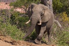 Make Way! (Hector16) Tags: africa safari zimbabwe zw 2015 loxodontaafricana masvingo gonarezhou chilogorgelodge