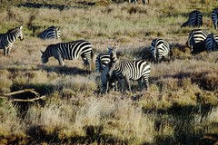 Burchell's Zebras at Lewa (Susan Roehl Thanks for 5.1 M Views) Tags: ngc herd grazing eastafrica burchellszebra lewawildlifeconservancy kenya2015