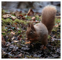Red Squirrel (Kieran Commins) Tags: red wild animal squirel
