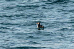 Puffin Jr. (martytdx) Tags: birds lifelist nj puffin february immature atlanticocean pelagic alcid fratercula winterplumage atlanticpuffin fraterculaarctica alcidae pelagictrip paulagic