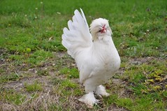 Ssl tavuk yetitirme teknii nedir? (sevkabilgisayar1) Tags: hayvan deiiktrler doastvarlklar ssltavuk