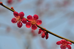 Ume Blossoms, Kyoto Botanical Gardens (kyoshiok) Tags: japan kyotobotanicalgardens umeblossoms