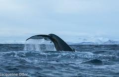 humpback whale (jacqy85) Tags: norway wildlife dolphins whales andenes noorwegen cetacean grienden pilotwhales walvissen bultruggen