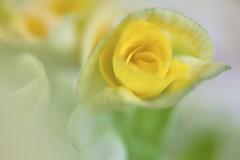 Rieger Begonia (Eddy Tsai) Tags: flower color macro garden colours bokeh taiwan vivid  viola           riegerbegonia