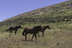 Horses Rano Raraku (blueheronco) Tags: horses trail pacificocean easterisland quarry tuff rapanui isladepascua ranoraraku volcaniccrater rapanuinationalpark