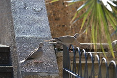 Streptopelia decaocto (esta_ahi) Tags: barcelona españa fauna spain aves sitges garraf turca streptopeliadecaocto streptopelia columbidae tórtola decaocto испания