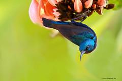 Purple Sunbird Male (Amit Shankar Pal) Tags: bird birds purple hyderabad amit sunbird wwwamitshankarpalcom amitshankarpal
