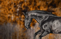 Dark And Shiny (Hestefotograf.com) Tags: horses horse oslo norway caballo cheval married welsh arabian justmarried cavalo pferd stallion canter equine equus paard darkhorse friesian purarazaespanol equinephotographer equinephoto hestefotograf