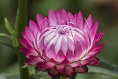 Xerochrysum bracteatum (Strawflower / Inmortal) (PriscillaBurcher) Tags: strawflower everlasting siempreviva inmortal paperdaisies goldeneverlasting xerochrysumbracteatum flordepapel inmortelle l1630002