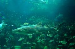 DSC03694 (emmanrog) Tags: animales marino acuario tiburn