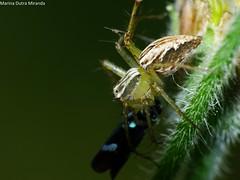 Pegando uma cigarrinha!!! (Marina Dutra Miranda) Tags: aranha oxyopes aracndeo cigarrinha predao oxyopessalticus relaoecolgica aranhapredandocigarrinha