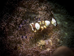 Shrimp (HongKongPhooey2009) Tags: ocean life blue sea fish glass animal coral puerto shark boat marine asia seahorse ship underwater dolphin philippines crab shrimp scuba diving anemone octopus eggs whale nudibranch cuttlefish sponge galera mindoro seastar tunicate
