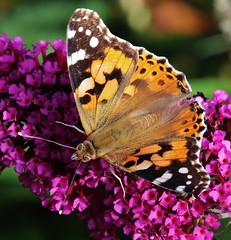 Distelfalter (Vanessa cardui) (Hugo von Schreck) Tags: macro butterfly insect schmetterling vanessacardui distelfalter tamronspaf180mmf35dildifmacro11 canoneos5dmarkiii hugovonschreck