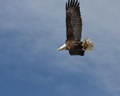 Bald Eagle 5485 (frank.kocsis1) Tags: colorado adult baldeagle cherrycreekstatepark coloradowildlife frankkocsis seealbumformorephotos
