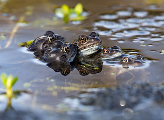 Pond Life frogs mating