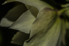 Hellebore Petals - April 2016 (GOR44Photographic@Gmail.com) Tags: white flower macro canon petals hellebore 100mmf28 canon100mm 60d gor44