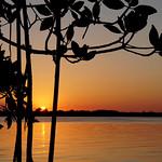 Setting sun through mangroves. thumbnail
