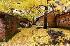 Ginkgo village (MelindaChan ^..^) Tags: china guilin guangxi