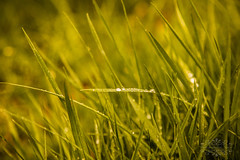Grass (thomask8) Tags: flowers plants flower nature floral canon outdoors photography spring dof bokeh ngc bloom blooming naturescenes simplyflowers
