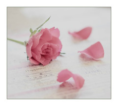 Happiness (loraine.french57) Tags: pink rose petals happiness shallowdof