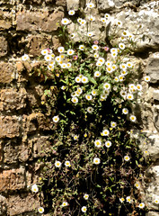 Scaling the Walls (Steve Taylor (Photography)) Tags: santa uk greatbritain shadow england brown white plant flower brick london art up sunshine yellow stone wall daisies digital corner spring unitedkingdom sunny palace climbing barbara gb daisy eltham scaling