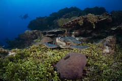 Sea Turtle Resting on Bed of Halimeda Algae, Gab Gab 1, Apra Harbor, Guam (RCG Maru) Tags: yellow seaturtle cheloniamydas nikond800 ikelitestrobes russellcgilbertunderwaterphotography rcgmaruunderwaterphotography nikond800underwater nexusunderwaterhousings guamscubadiving guamunderwaterphotography gabgab1 gabgabreef