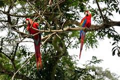 Scarlet Macaws at Tambopata Research Center in Peru-20 5-31-15 (lamsongf) Tags: travel peru southamerica tambopata amazonbasin