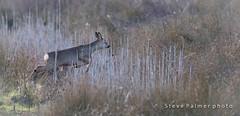 Jumping Roe (outdoorjive@btinternet.com) Tags: desktop uk england animals other unitedkingdom norfolk places gb flikr eastanglia kingslynnandwestnorfolkdis kingslynnandwestnorfolkdistrict