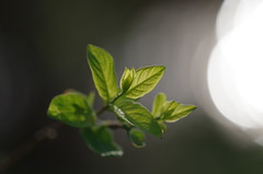 spring awakens (Jos Kroezen) Tags: nature leaf spring nederland lente rijswijk greenleafs verseblaadjes