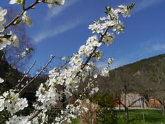 Ringlotten-Blüte / Greengage blossom (rudi_valtiner) Tags: austria österreich spring blossoms niederösterreich springtime autriche fruittree frühling blüten obstbaum loweraustria greengage flatz reineclaude reneklode ringlotte