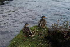 Ducks (ben_nuttall) Tags: scotland lochlomand
