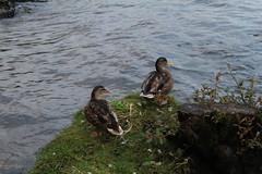 Ducks (ben_nuttall) Tags: scotland lochlomand